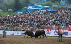 Коррида по-турецки, или бои быков в Артвине